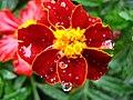 1310 - Zell am See - Flower.JPG