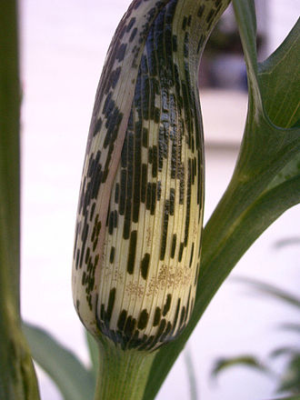 Helicodiceros - Image: 182294840 307e 2b 6a 06 b