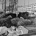 1960 Parc à taureaux du CNRZ Cliché Jean-Joseph weber-1.jpg