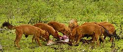 Une meute de dholes, en train de manger un cerf axis qu'ils viennent de capturer.