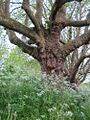 20130519Chaerophyllum temulum.jpg