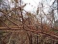 20131208Reynoutria japonica1.jpg