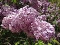 2014-05-18 11 29 24 Lilac in Elko, Nevada.JPG