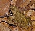 2014.07.17.-28-Zadlitzgraben Pressel--Grasfrosch-Weibchen.jpg