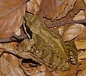 Common frog with masked eye