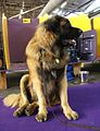 2014 Westminster Kennel Club Dog Show (12486530113).jpg