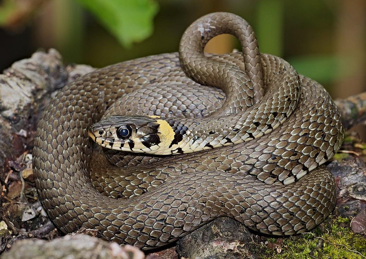 Grass Snake Wikipedia