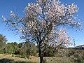 2018-02-20 Almond blossom, Vale da Azinheira, Albufeira (1).JPG