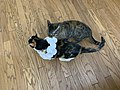 2020-07-22 17 30 42 A tabby cat eating a paper necklace on a Calico cat while standing on a wood floor in the Franklin Farm section of Oak Hill, Fairfax County, Virginia.jpg