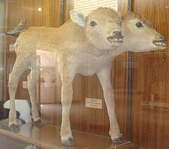Monstrous birth - A two-headed cow.