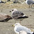 2nd winter Lesser Black-backed Gull (16257487777).jpg