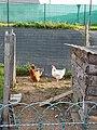 49 Loiré poules.jpg