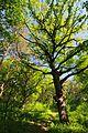 71-249-5037 Dakhnivka Oak DSC 5871.jpg
