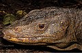 A-large-nearly-2-m-adult-male-Varanus-bitatawa-in-life-near-Location-2.jpg