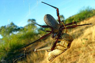 Golden silk orb-weaver - Australian golden silk orb-weaver (N. edulis) and a locust caught in its web.
