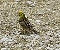 AIMG 4733 Reußenstein gelber Vogel.jpg