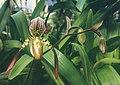 A and B Larsen orchids - Paphiopedilum roebbelenii x haynaldianum 458-3.jpg
