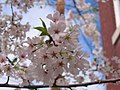 A cherry blossom blooming in Old Town Alexandria - panoramio.jpg