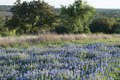 A luxurient field of bluebonnets, the state flower, near Marble Falls in the Texas Hill Country LCCN2014633107.tif