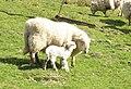 A new-born lamb on the inby-fields of Fferm Dyffryn Mymbyr - geograph.org.uk - 397965.jpg