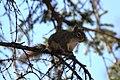 A red squirrel in a spruce tree (9f435a91-92e0-4935-b2a2-5efa39efcf63).jpg