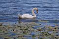 A swan in Lake Ohrid.jpg