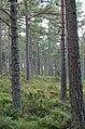 Abernethy Forest - geograph.org.uk - 212234.jpg