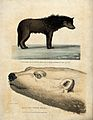 Above, a sledge dog; below, the head of a white bear. Colour Wellcome V0021858.jpg