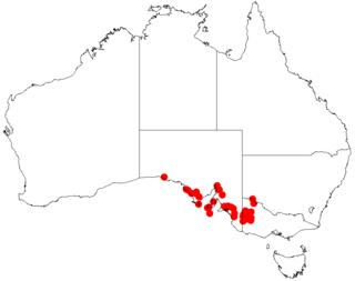 <i>Acacia dictyocarpa</i> Species of plant