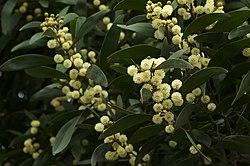 Acacia melanoxylon.jpg