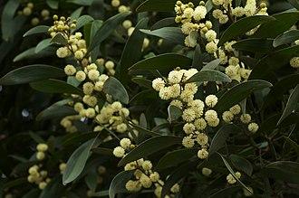 Acacia melanoxylon - Flowering twigs of Acacia melanoxylon