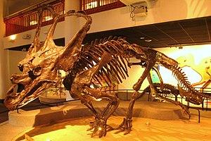 Chasmosaurus - C. belli skeleton, Academy of Natural Sciences