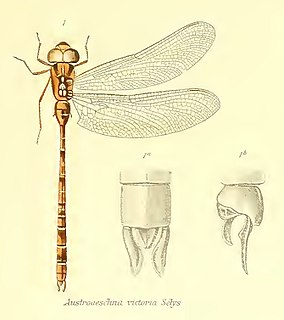<i>Acanthaeschna victoria</i> species of insect