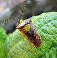 Acanthosoma haemorrhoidale Hawthorn Shieldbug - Flickr - gailhampshire (1).jpg