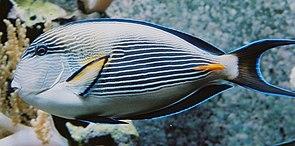 Arabischer Doktorfisch (Acanthurus sohal)