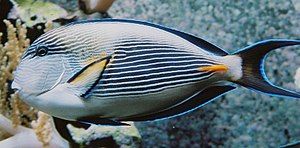 Acanthuridae - Sohal surgeonfish, Acanthurus sohal