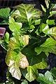 Acanthus mollis Latifolius 2zz.jpg