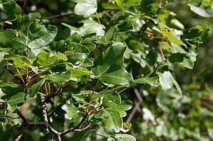 Acer monspessulanum - Foliage