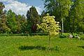 Acer platanoides drummondii BG Tallinn.jpg