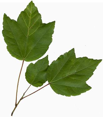 Acer rubrum - Red Maple leaf from specimen in northern Florida