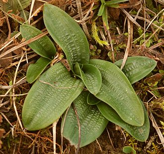 Orchis anthropophora - Orchis anthropophora leaf rosette before flowering