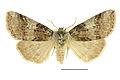 Achlya flavicornis, SLU.JPG