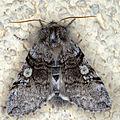 Achlya flavicornis 02, Lodz(Poland)(js).jpg