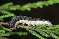 Achlya flavicornis larva.jpg