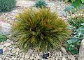 Aciphylla montana - RHS Garden Harlow Carr - North Yorkshire, England - DSC01540.jpg