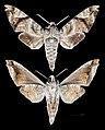 Acosmeryx pseudomissa MHNT CUT 2010 0 171 Laos male.jpg