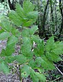 Actaea spicata leaf (08).jpg