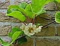 Actinidia chinensis B.jpg