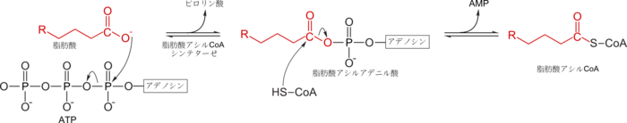 脂肪酸から脂肪酸アシルCoAへの変換