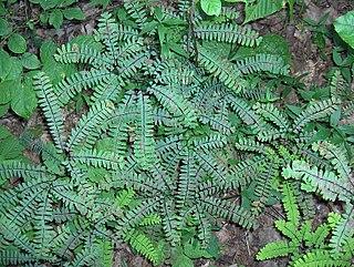 <i>Adiantum pedatum</i> species of plant